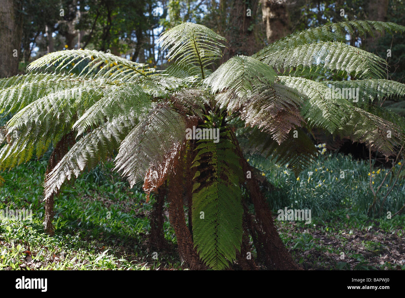 TREE FERN Cyathea australis GROWING IN WOODLAND GLADE - Stock Image
