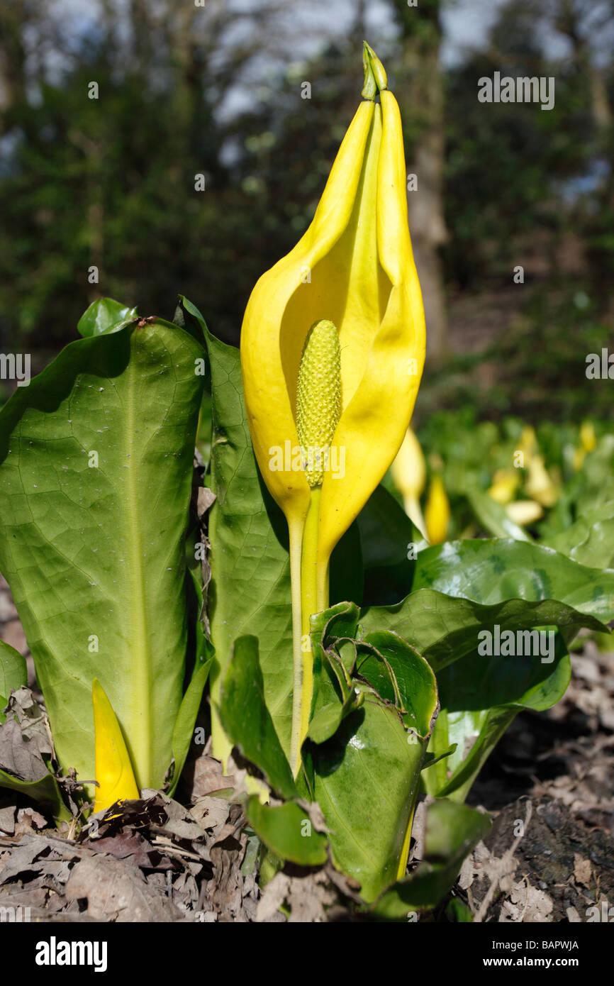 SKUNK CABBAGE Lysichiton americanus PLANT IN FLOWER Stock Photo
