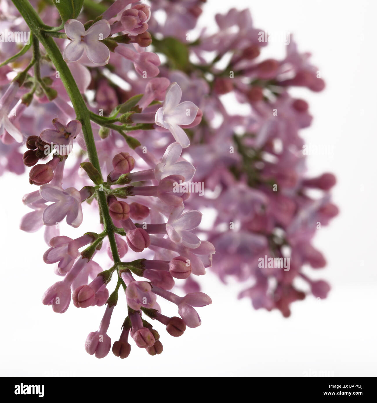 Lilac sprig on a white background - Stock Image