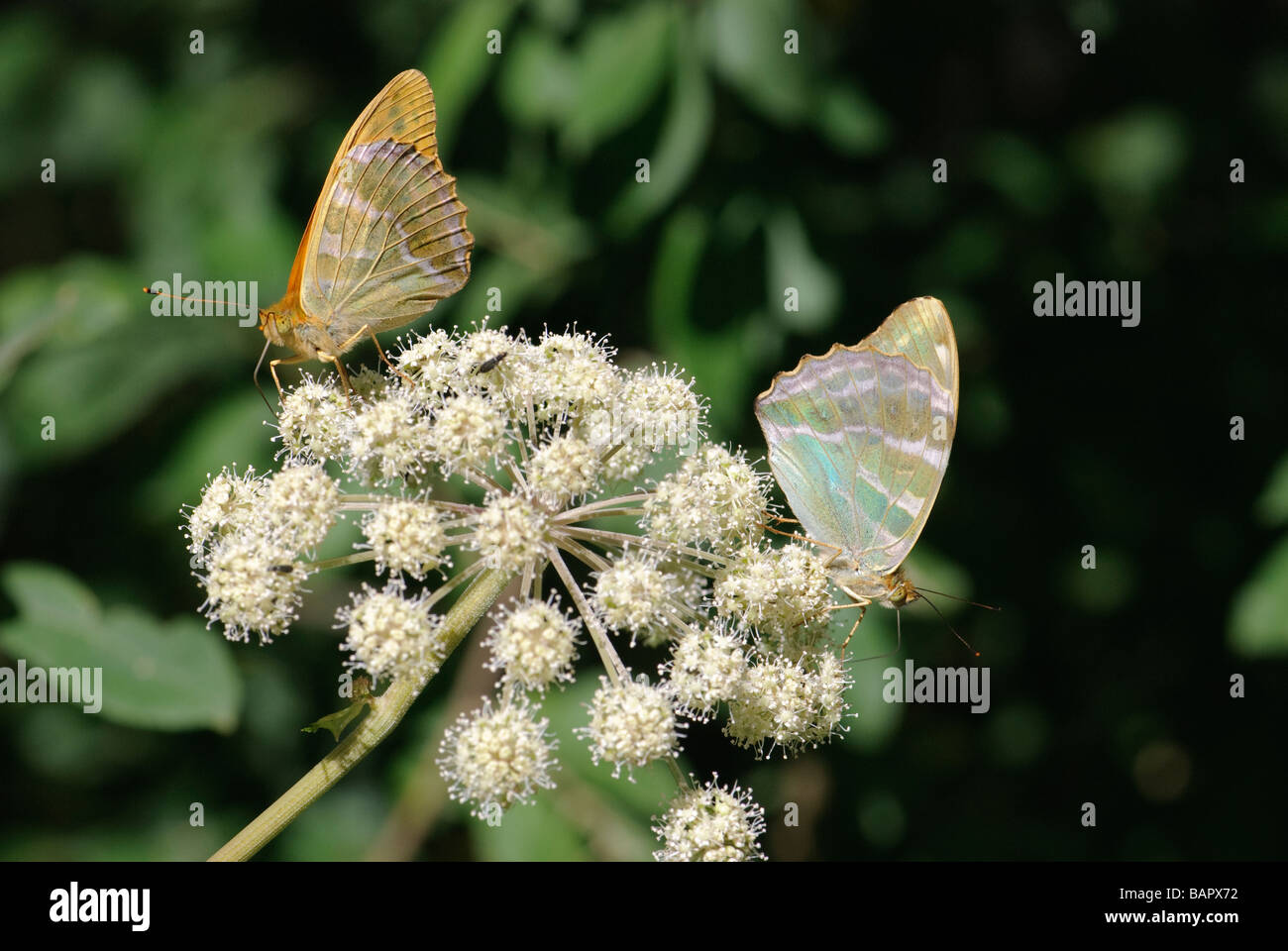 Two forms of Silver-washed Fritillary Argynnis paphia pollinating a flower - Stock Image