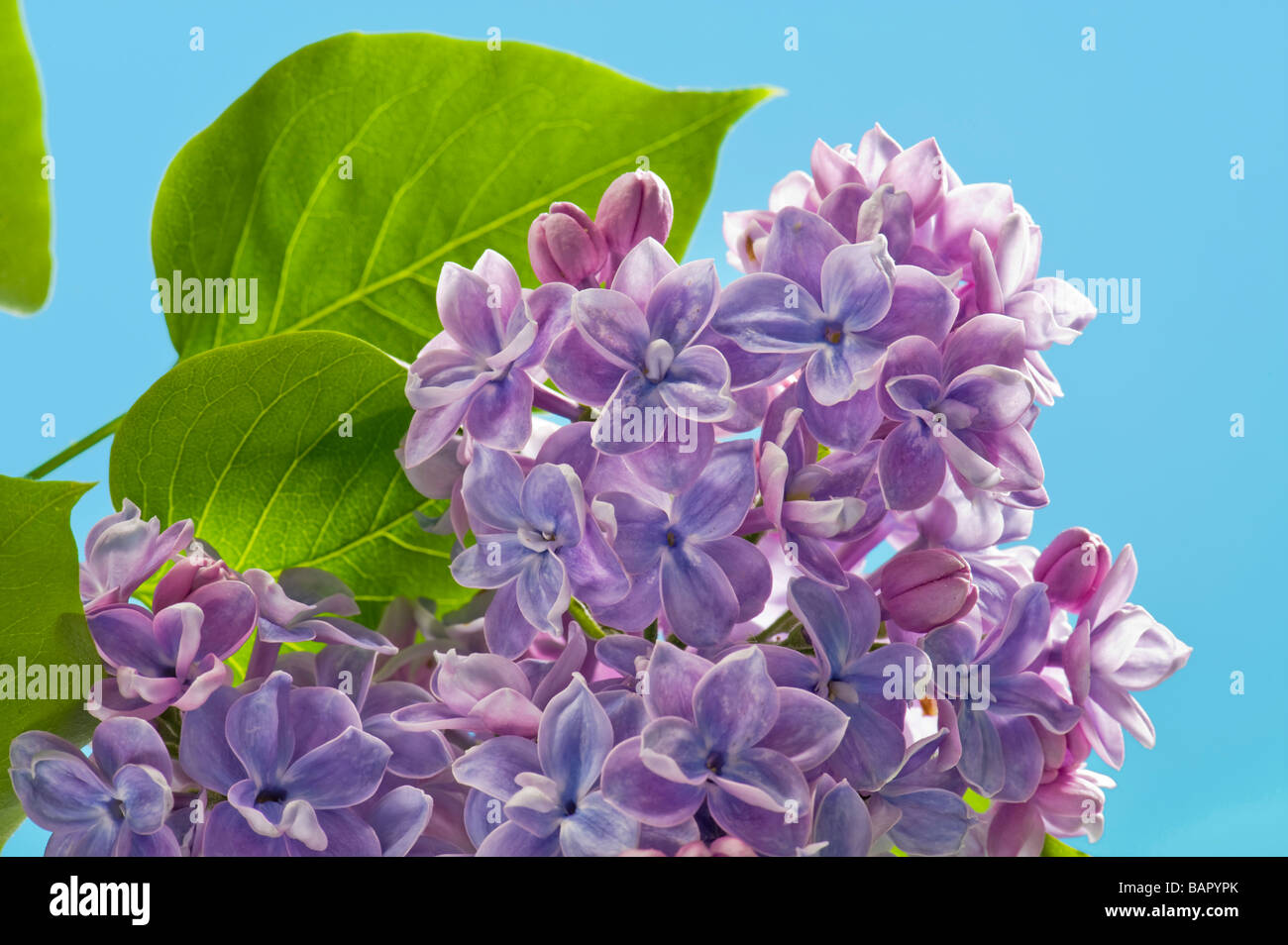 lilac syringa blue bluey bluish plain background space for text layout blue sky sping springtime flower flowering - Stock Image