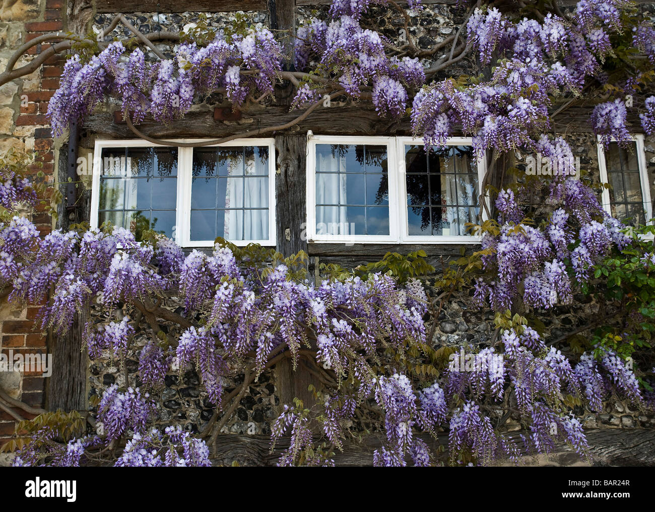 Wisteria Growing on a Country Cottage - Stock Image