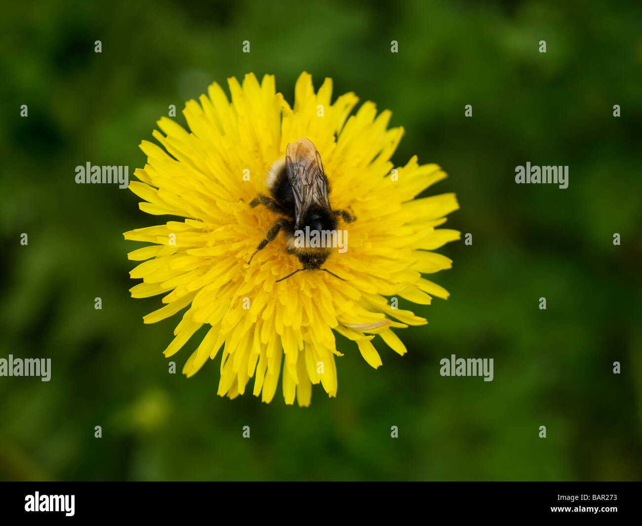 Bee sitting on dandelion flower top view pollen visible Oteppe Belgium - Stock Image