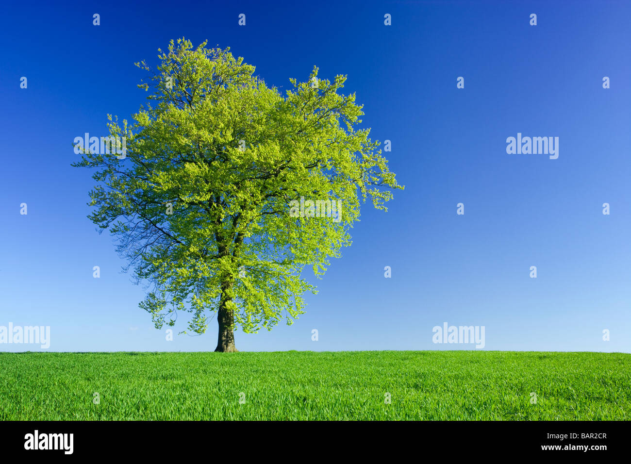 Single beech tree in field of young crop. Surrey, UK. - Stock Image