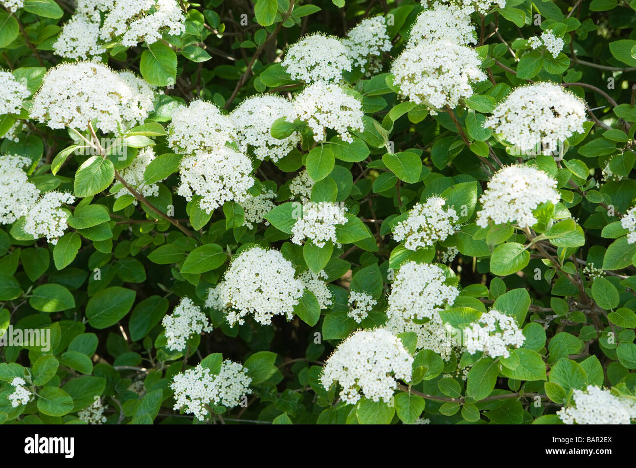 Wayfaring Tree Viburnum Lantana In Flower Surrey Uk Stock Photo
