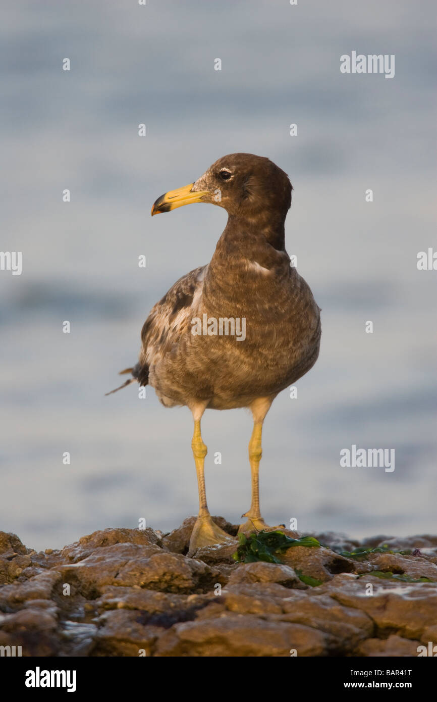 First winter Band-tailed Gull (Larus belcheri) standing on a rocky shorline - Stock Image