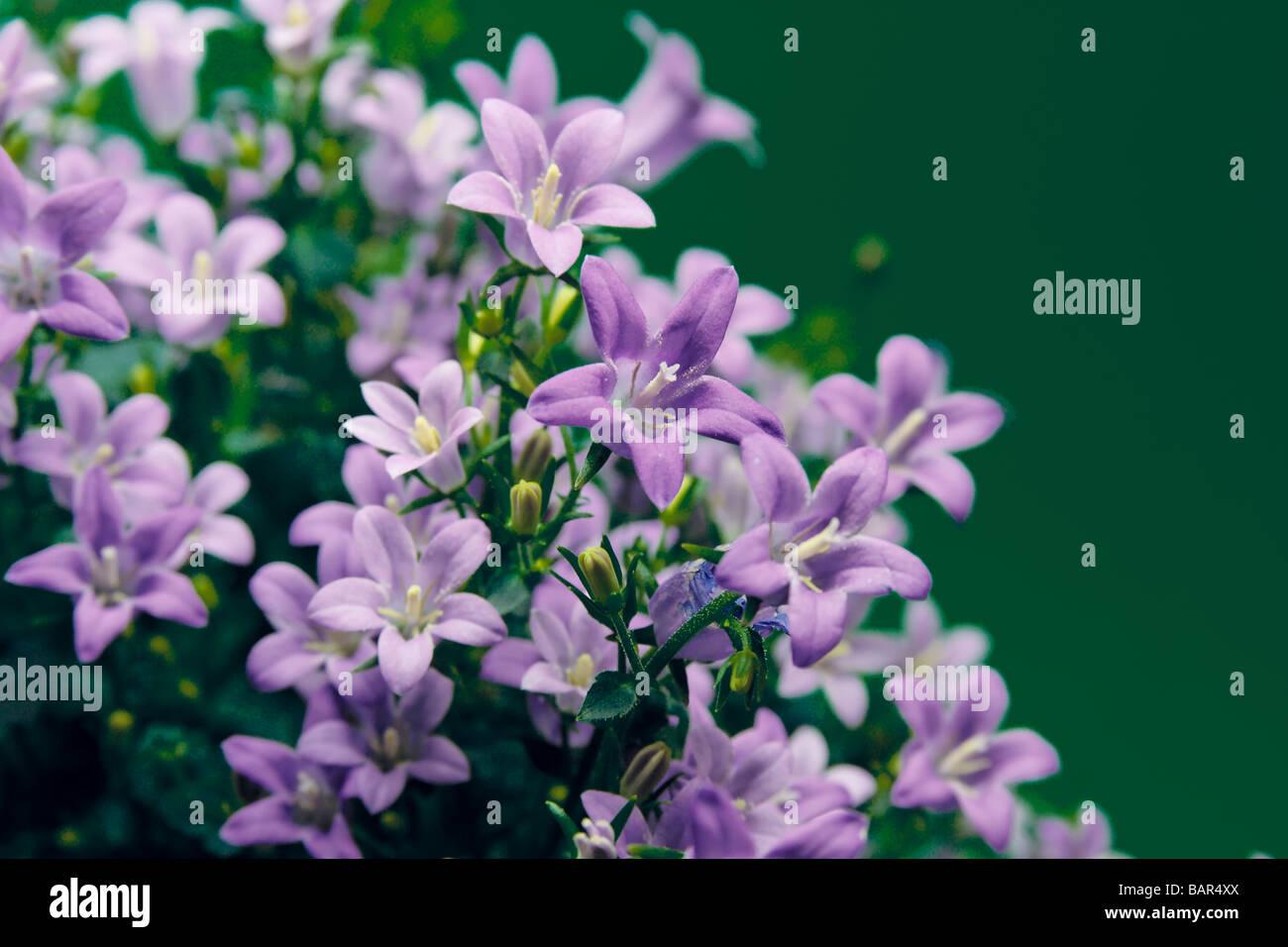 wunderfull blue flower close up - Stock Image
