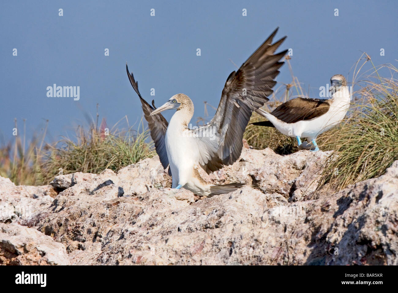 Adult Blue-footed Booby lands on rock with wings spread. - Stock Image
