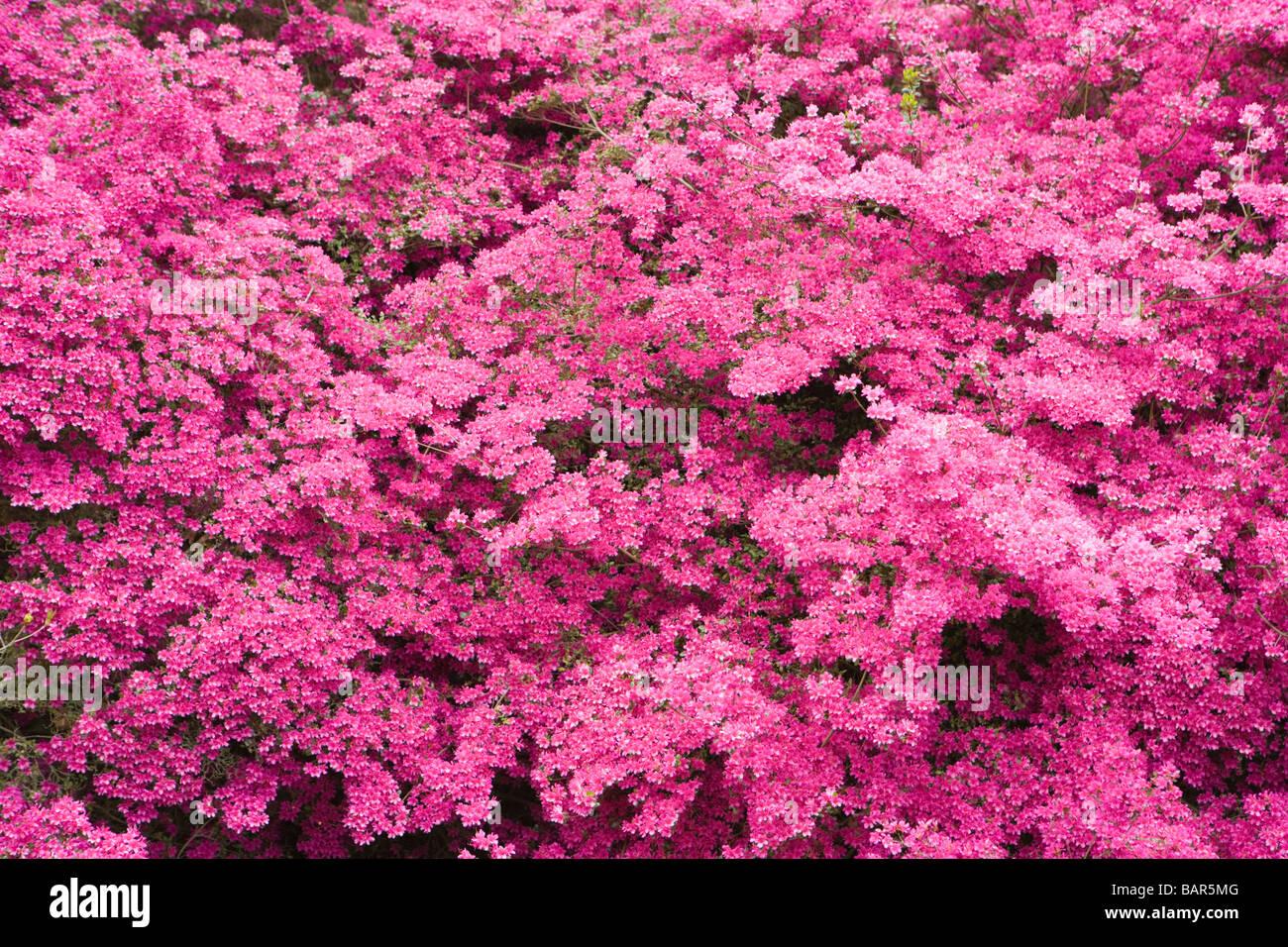 Azalea, (Rhododendron 'Amoenum'). UK garden. - Stock Image