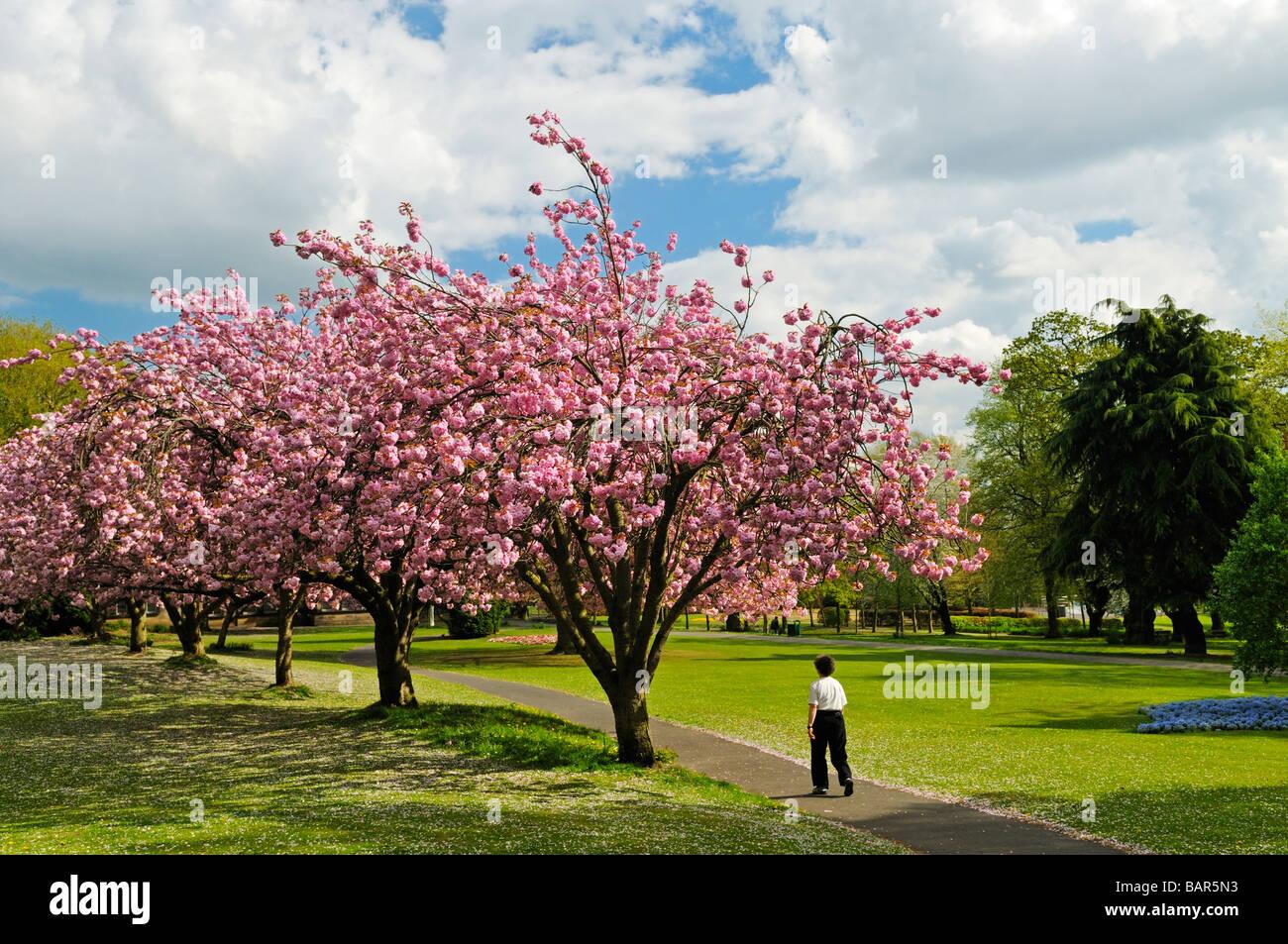 Ornamental Flowering Cherry Trees In Blossom Potternewton Park