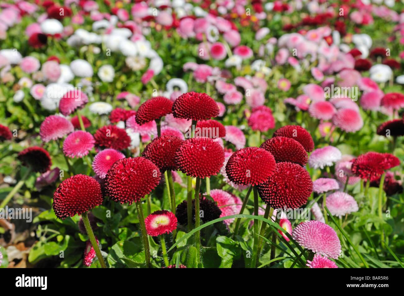 Red daisy bellis perennis cultivar pomponette double daisy stock red daisy bellis perennis cultivar pomponette double daisy izmirmasajfo Image collections