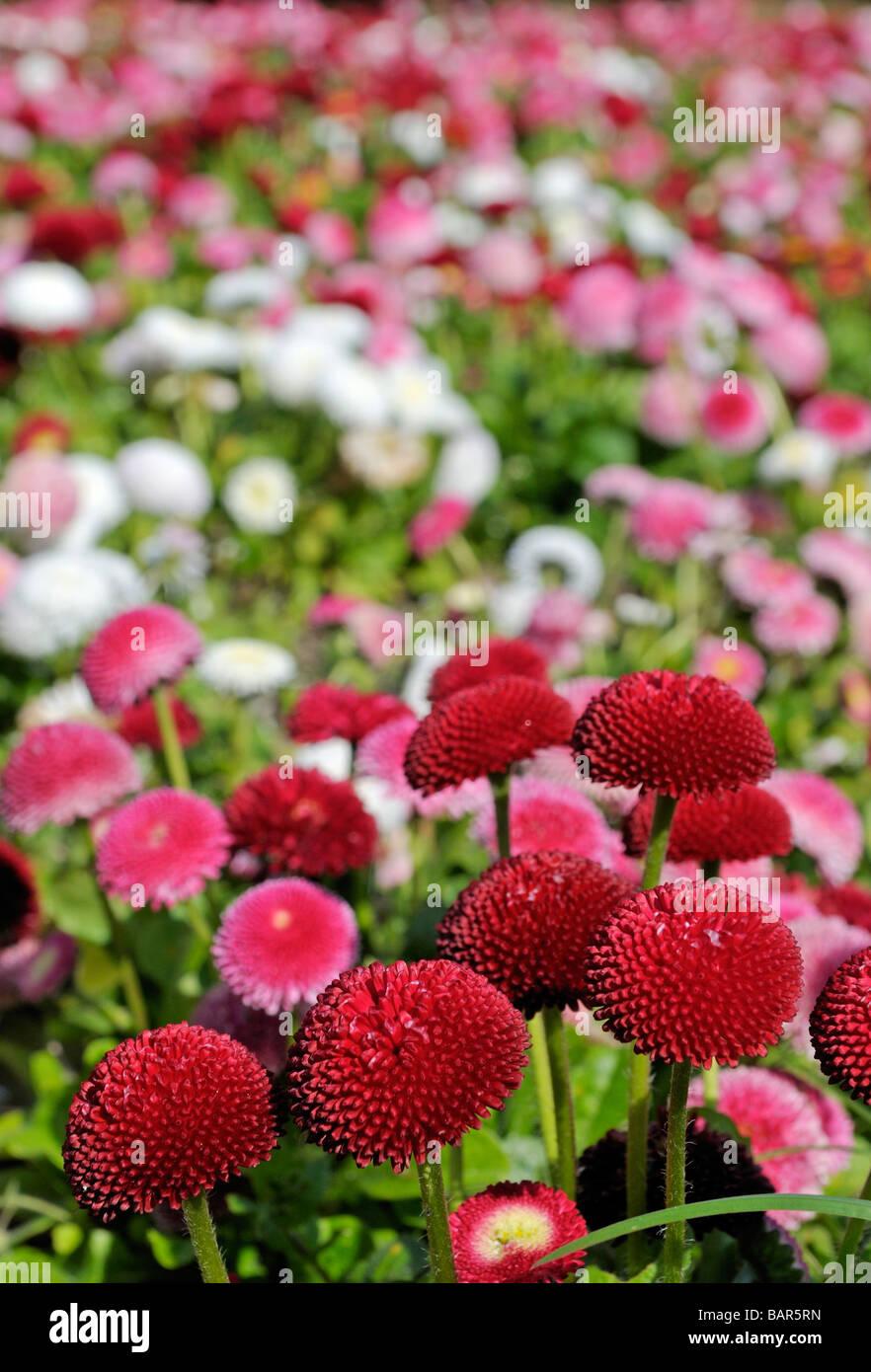 Red daisy bellis perennis cultivar pomponette double daisy stock red daisy bellis perennis cultivar pomponette double daisy izmirmasajfo
