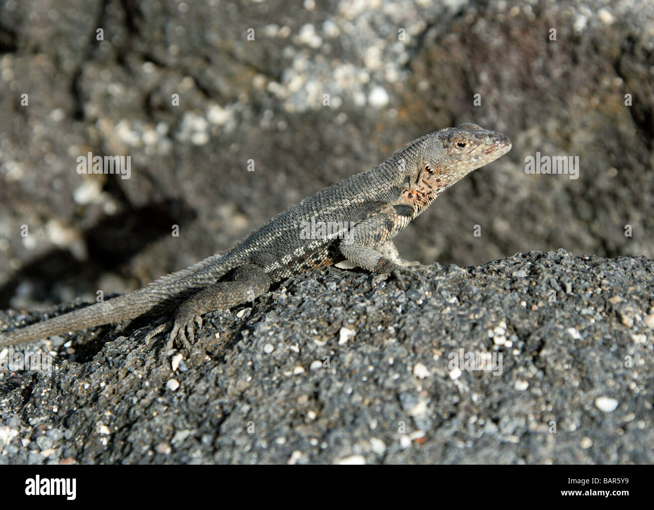 Lava Lizard, Microlophus albemarlensis, Tropiduridae, Punta Espinoza, Fernandina Island, Galapagos Islands, Ecuador Stock Photo