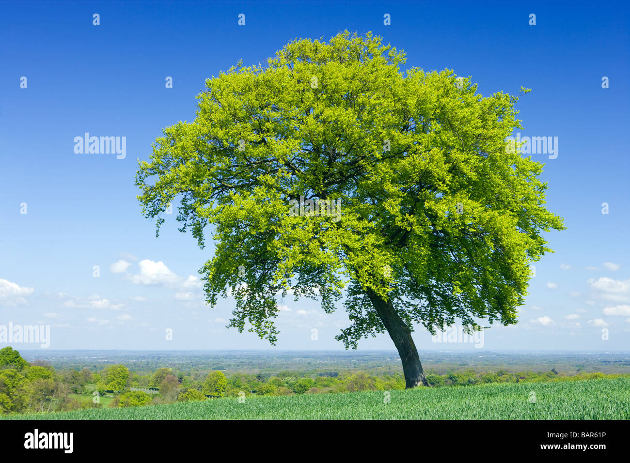 Lone beech tree in farm field. North Downs at Clandon, Surrey, UK. - Stock Image