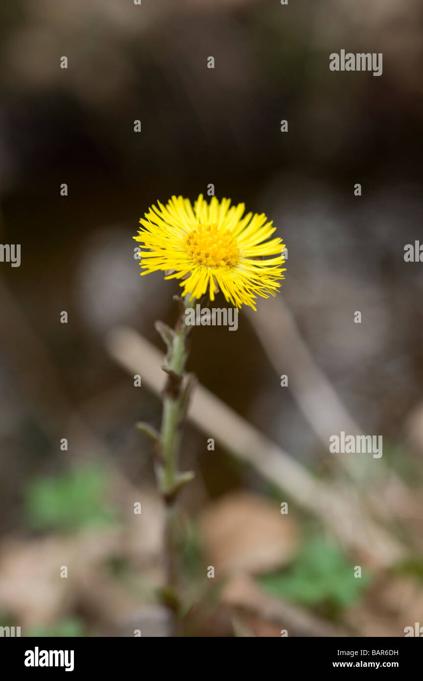 coltsfoot flower, early spring, Sweden - Stock Image