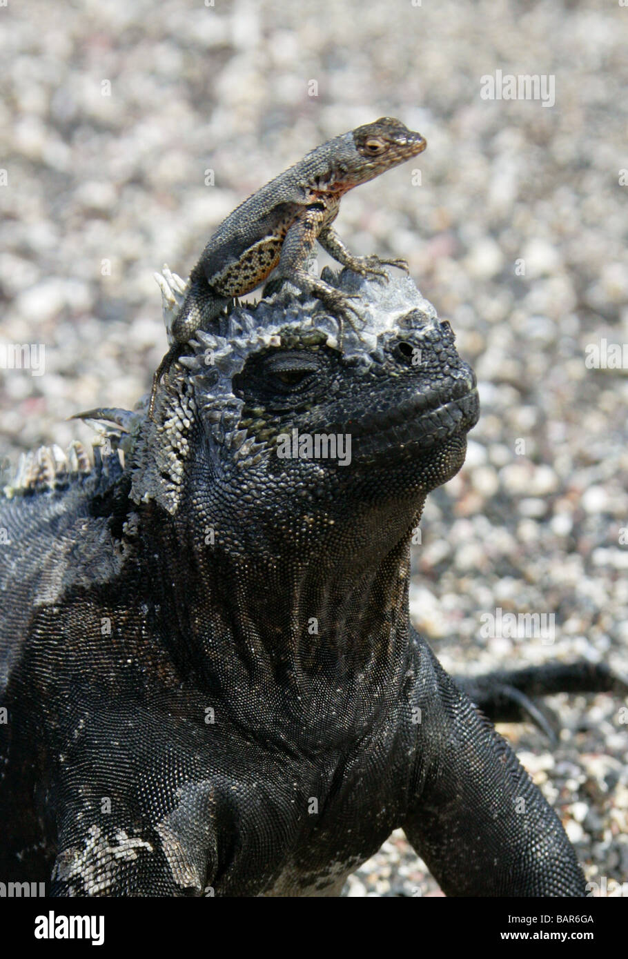 Lava Lizard (Microlophus albemarlensis) Using a Marine Iguana (Amblyrhynchus cristatus) as a Lookout Post, Fernandina, Stock Photo