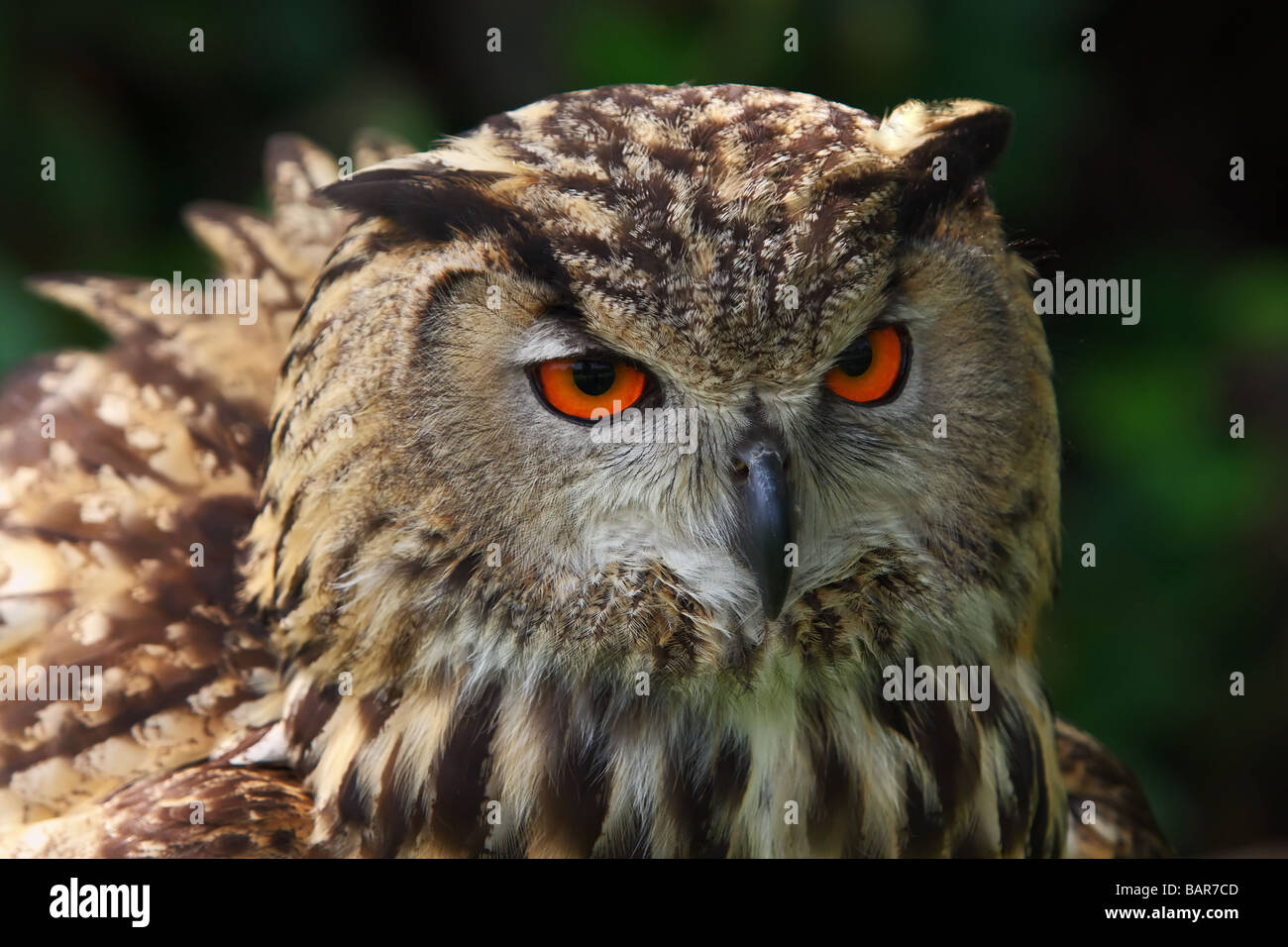 Close up portrait of an Owl in front of a dark forest - Stock Image