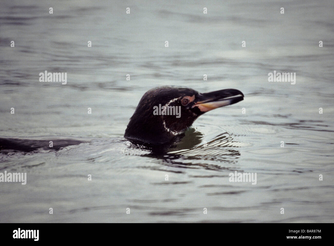 Galapagos Penguin swimming just offshore of Isabela Island. - Stock Image