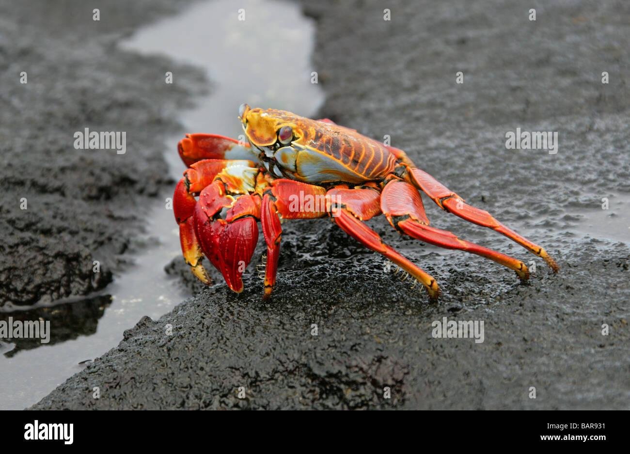 Sally Lightfoot Crab, Grapsus grapsus, Fernandina (Narborough) Island, Galapagos Islands, Ecuador, South America - Stock Image