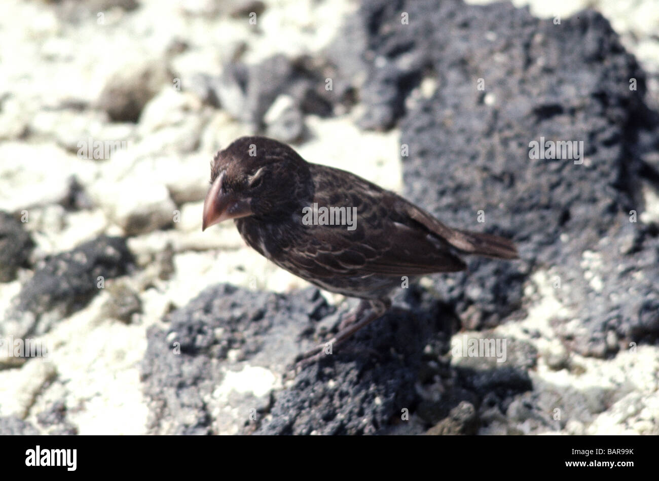 Galapagos Islands. Large Ground Finch. Adult female on Tower Island. - Stock Image