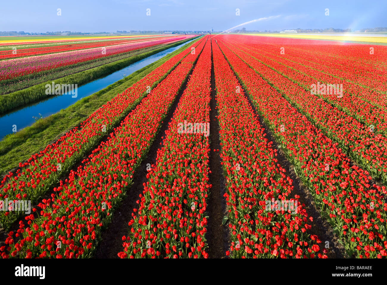Dutch Tulip fields, tulips in rows near Alkmaar, Holland, with canal and water sprinkler for irrigation. Netherlands - Stock Image