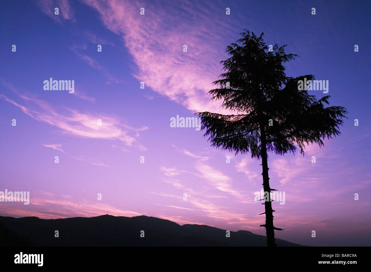 Silhouette of a coniferous tree, Patnitop, Jammu and Kashmir, India - Stock Image