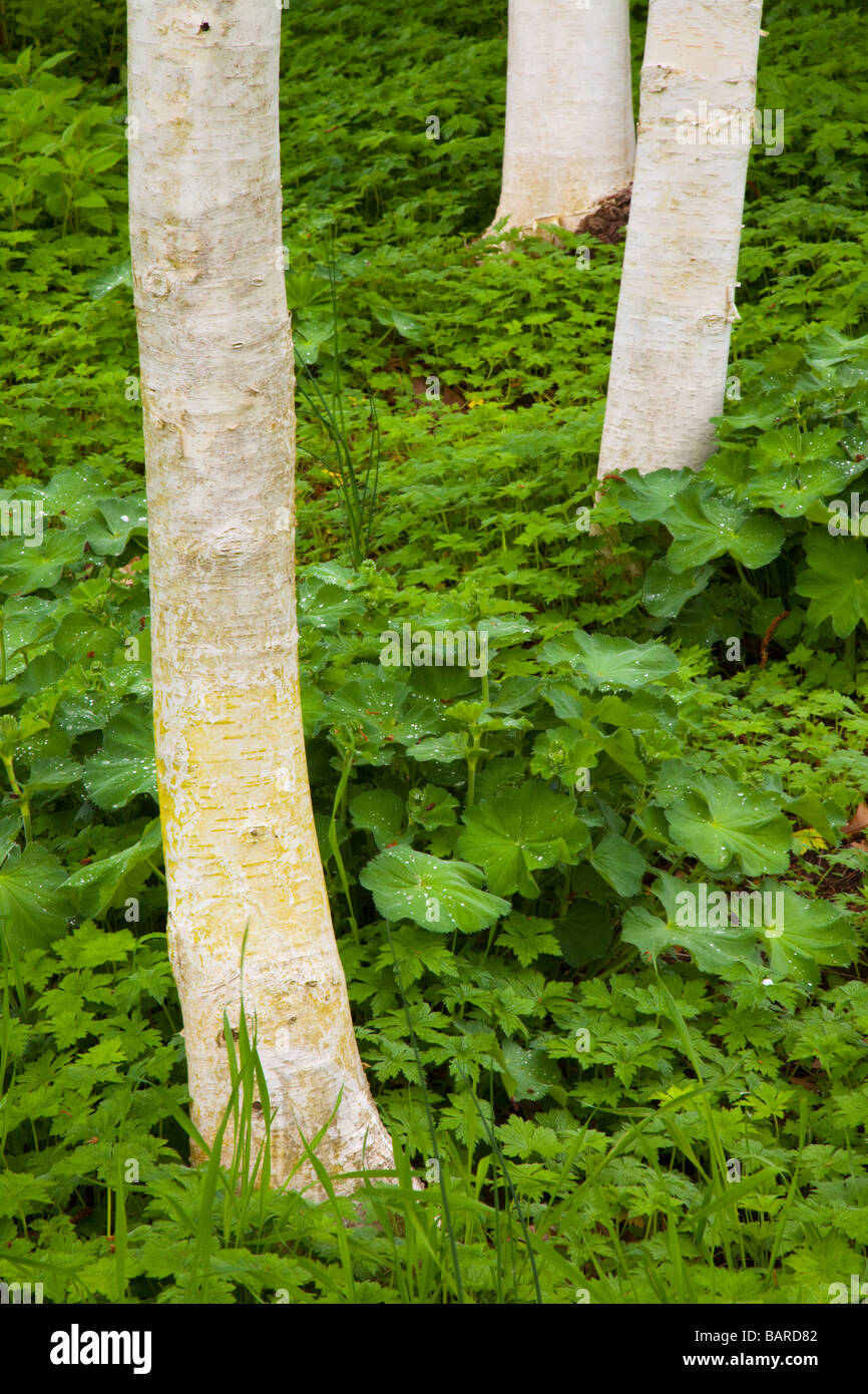 Contrasting white barked trees against a lush ground cover at the popular botanical gardens of Ness Gardens, Cheshire, - Stock Image