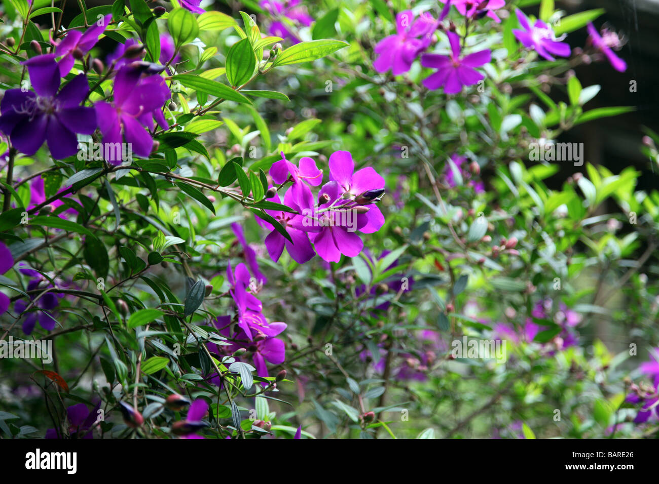 Beautifull Nature Flower Bush Bushes Flowers Pink Red Violet Purple