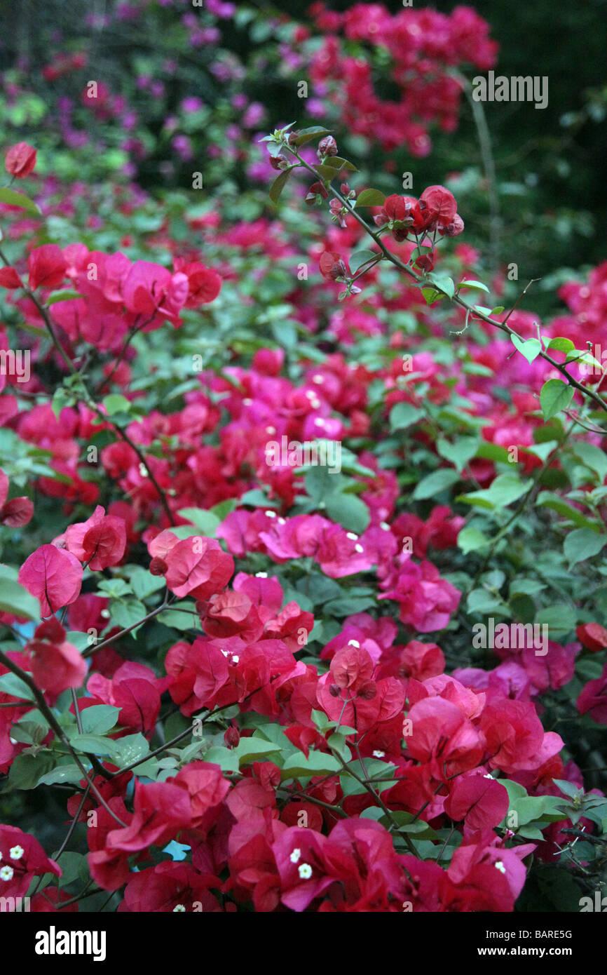 Beautifull Nature Flower Bush Bushes Flowers Pink Red Violet Purple