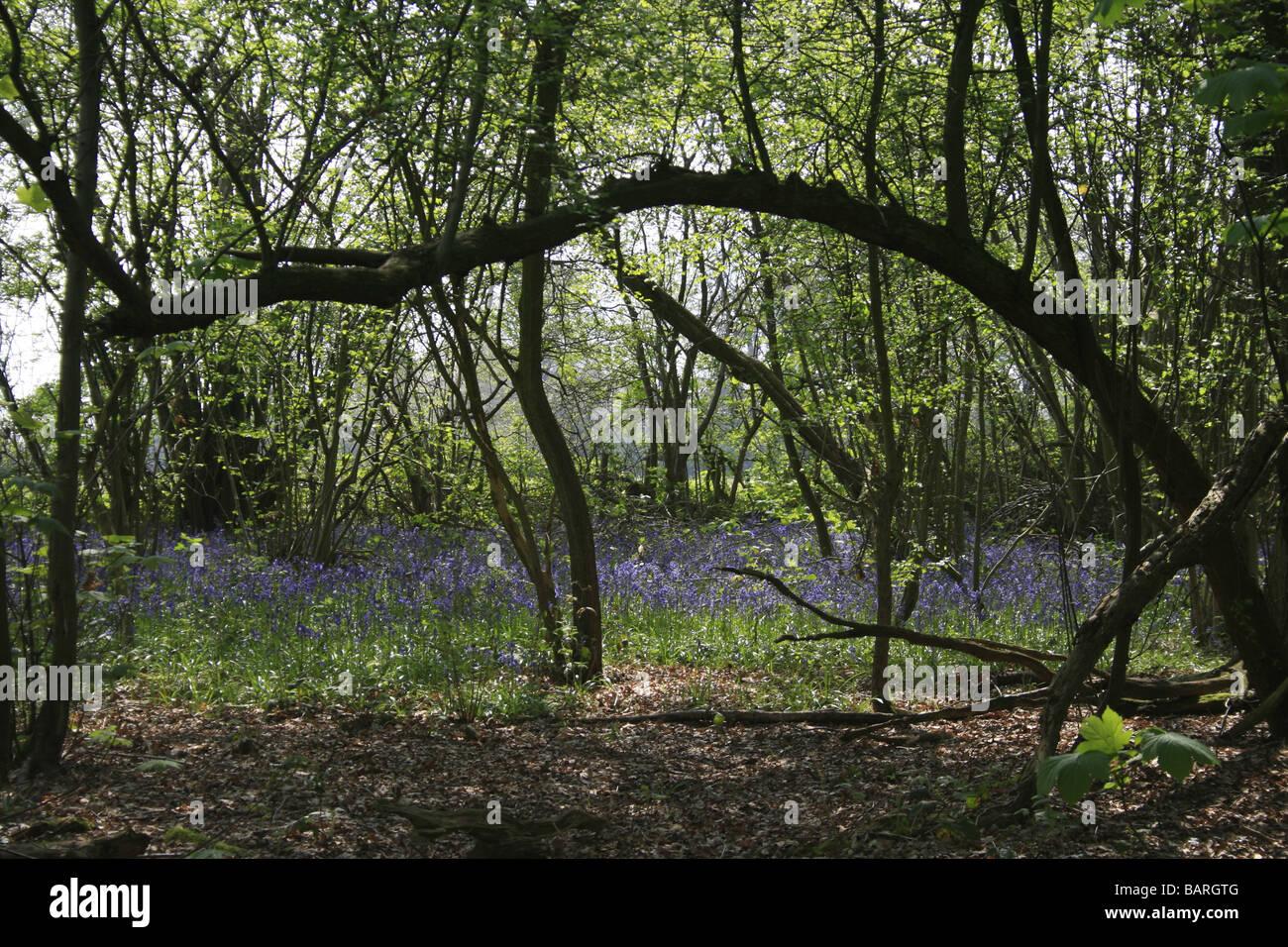 Bluebells in Shoreham woods Stock Photo