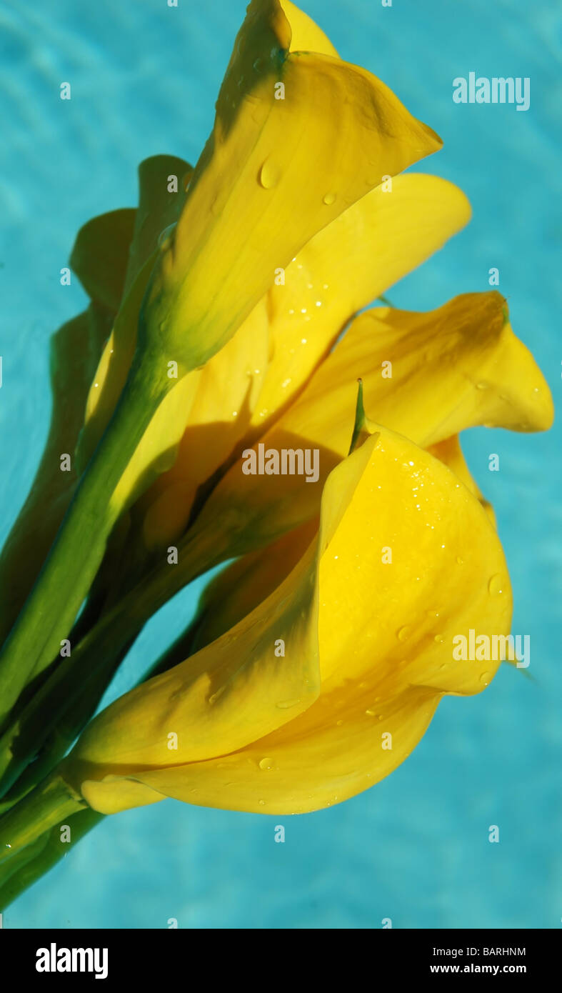 Yellow calla lilies floating in water Stock Photo