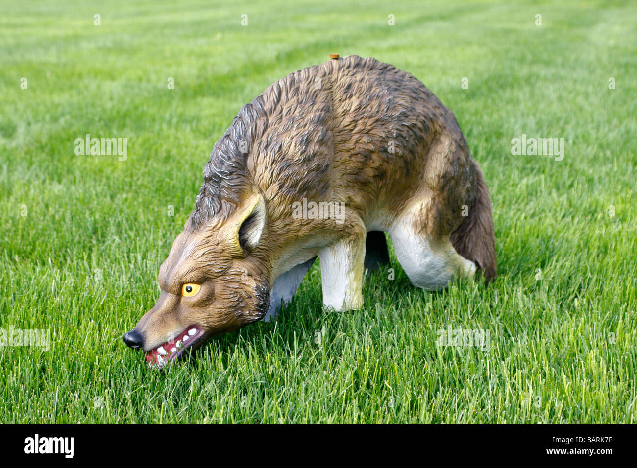 Coyote Statue used to scare away Canada Geese and other animals - Stock Image
