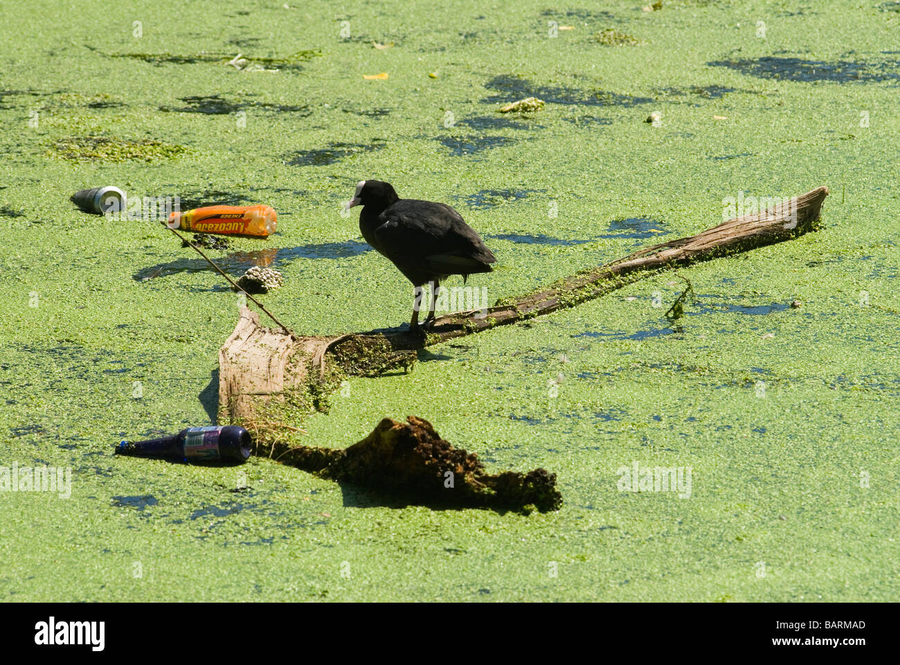 Moorhen Moorehen Morehen Moor Hen Stratford East London wildlife pollution - Stock Image
