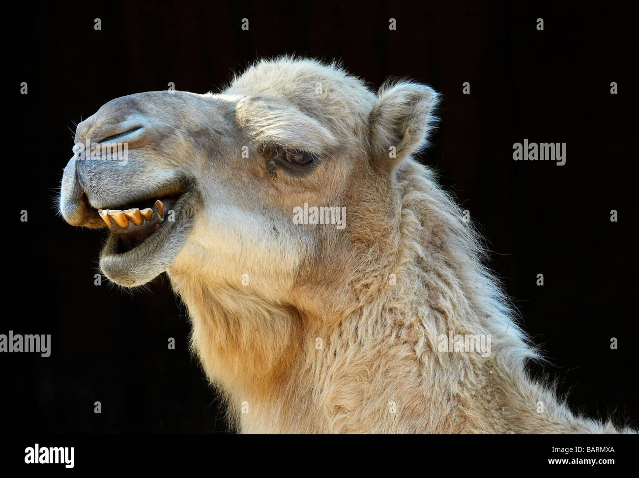camel smiling with black background - Stock Image