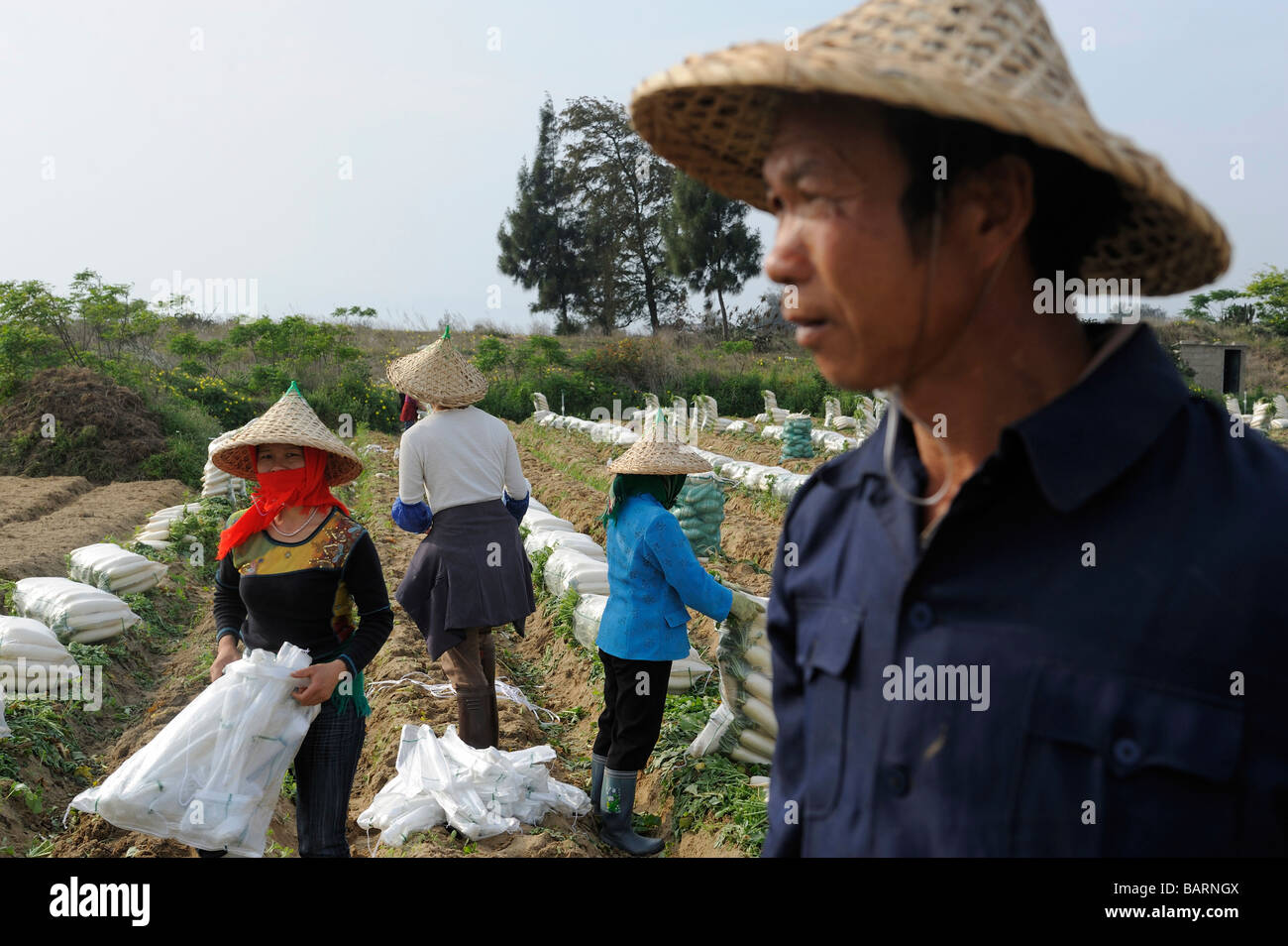 Farmers harvest  radish at Gulei Peninsula where the PX factory will be relocated in Zhangzhou Fujian province China - Stock Image