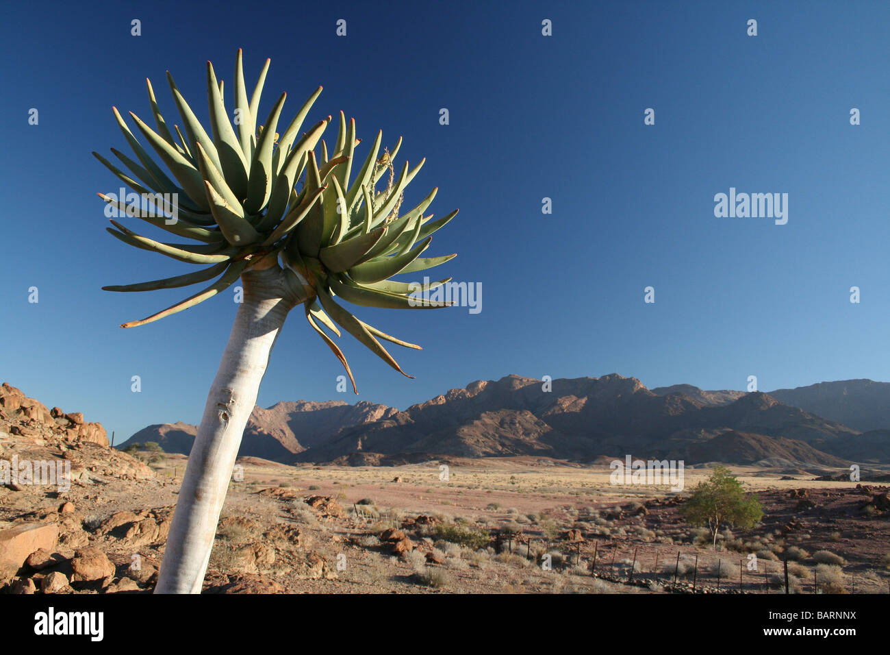 Aloe And Blue Skies With Brandberg Mountain In Distance, Namibia, Africa - Stock Image