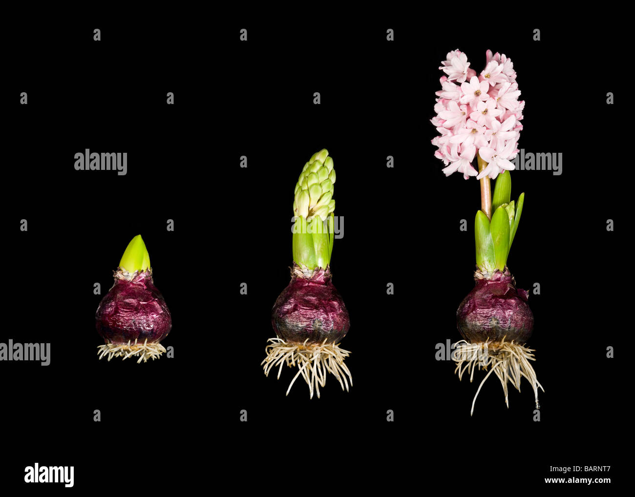 A  3 picture stitch sequence showing the roots and growth in 3 stages of a Hyacinth plant bulb (Hyacinthus orientalis). - Stock Image