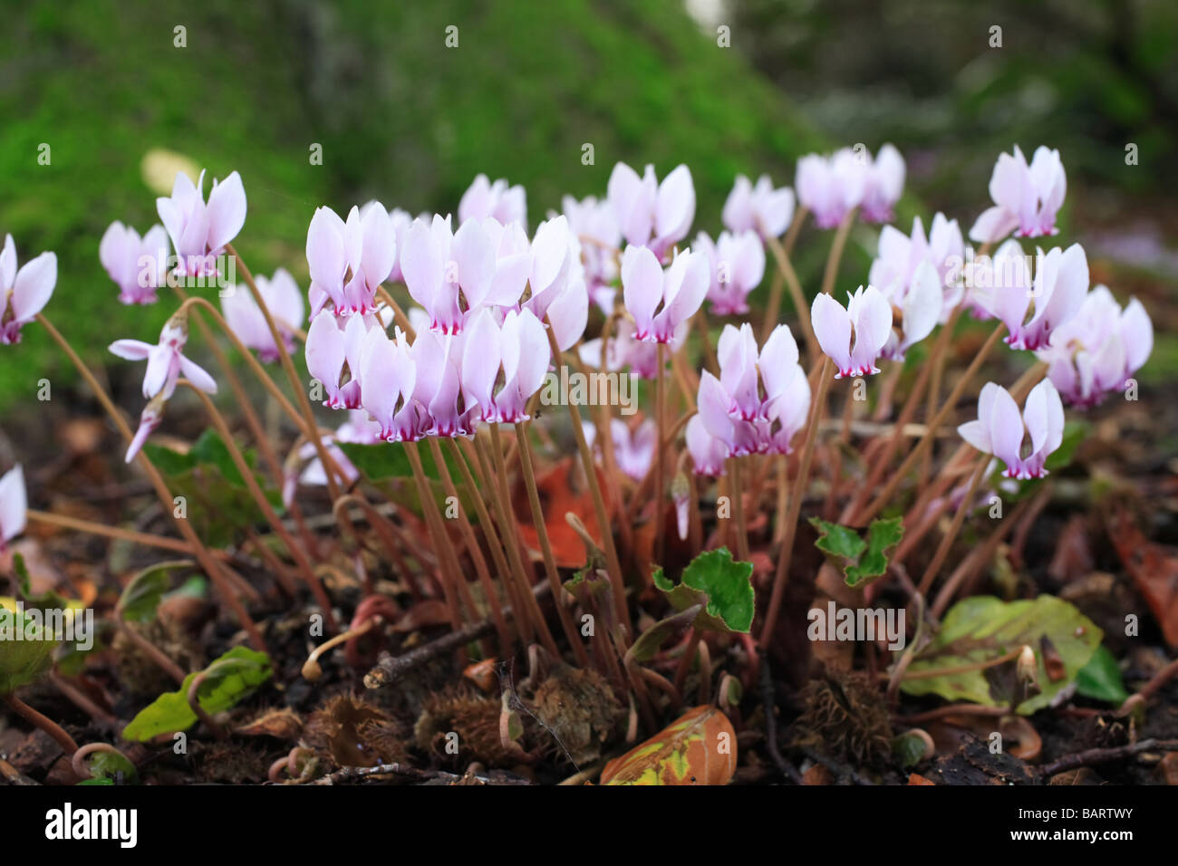 'Cyclamen hederifolium' woodland flowers - Stock Image