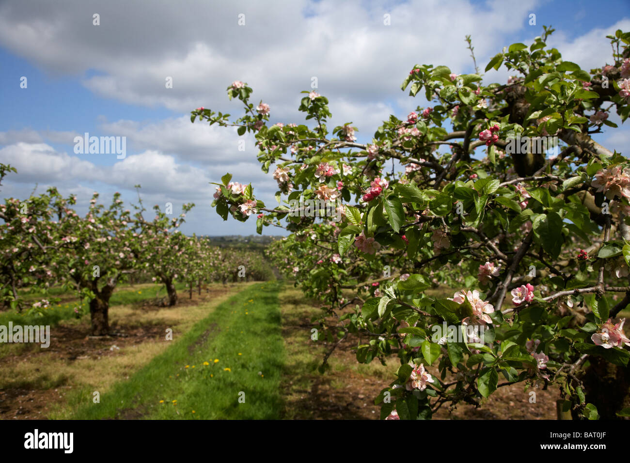 apple blossoms in bramley apple orchard in county armagh northern ireland uk - Stock Image