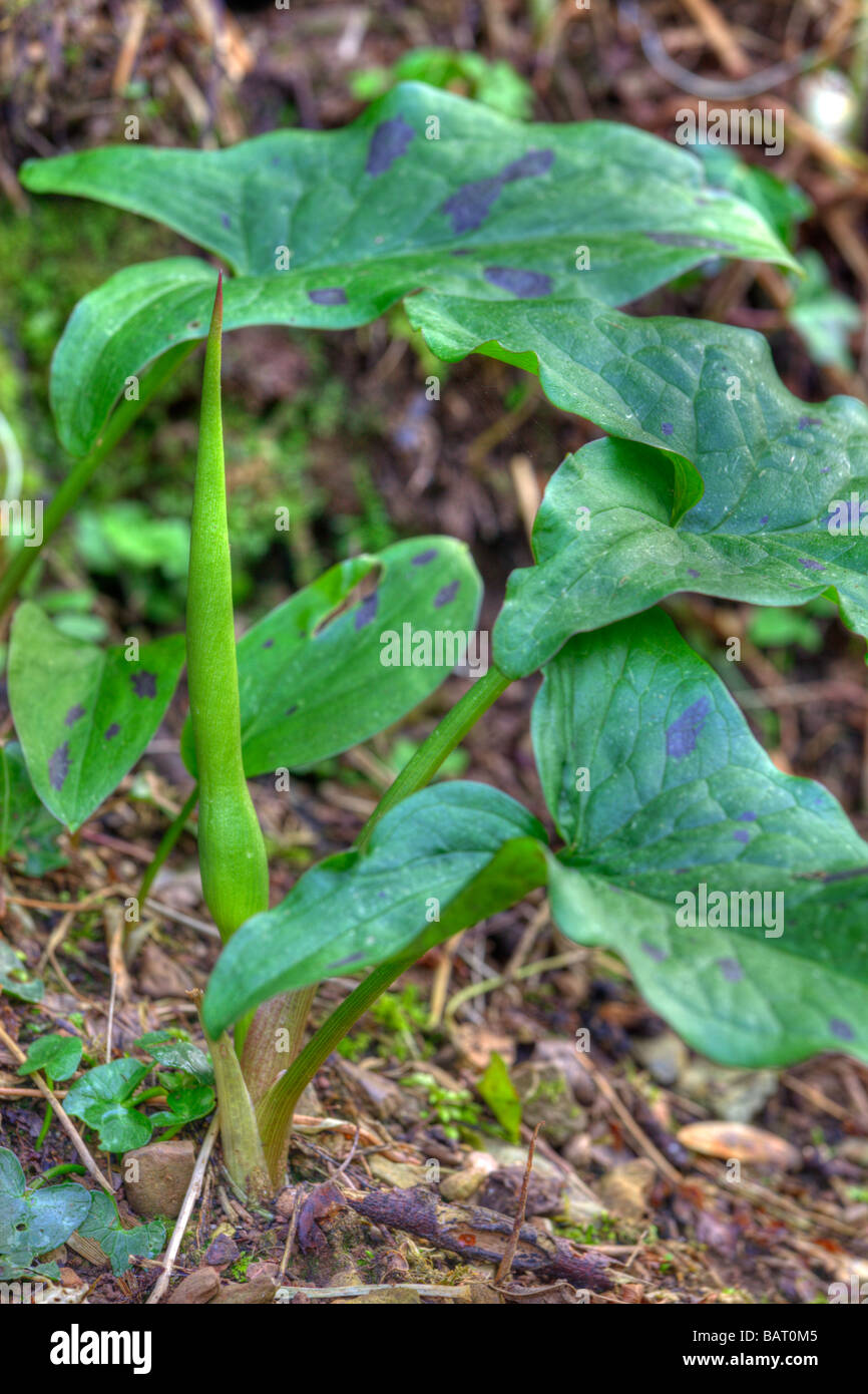 The flower of wild Arum prior to opening - Stock Image