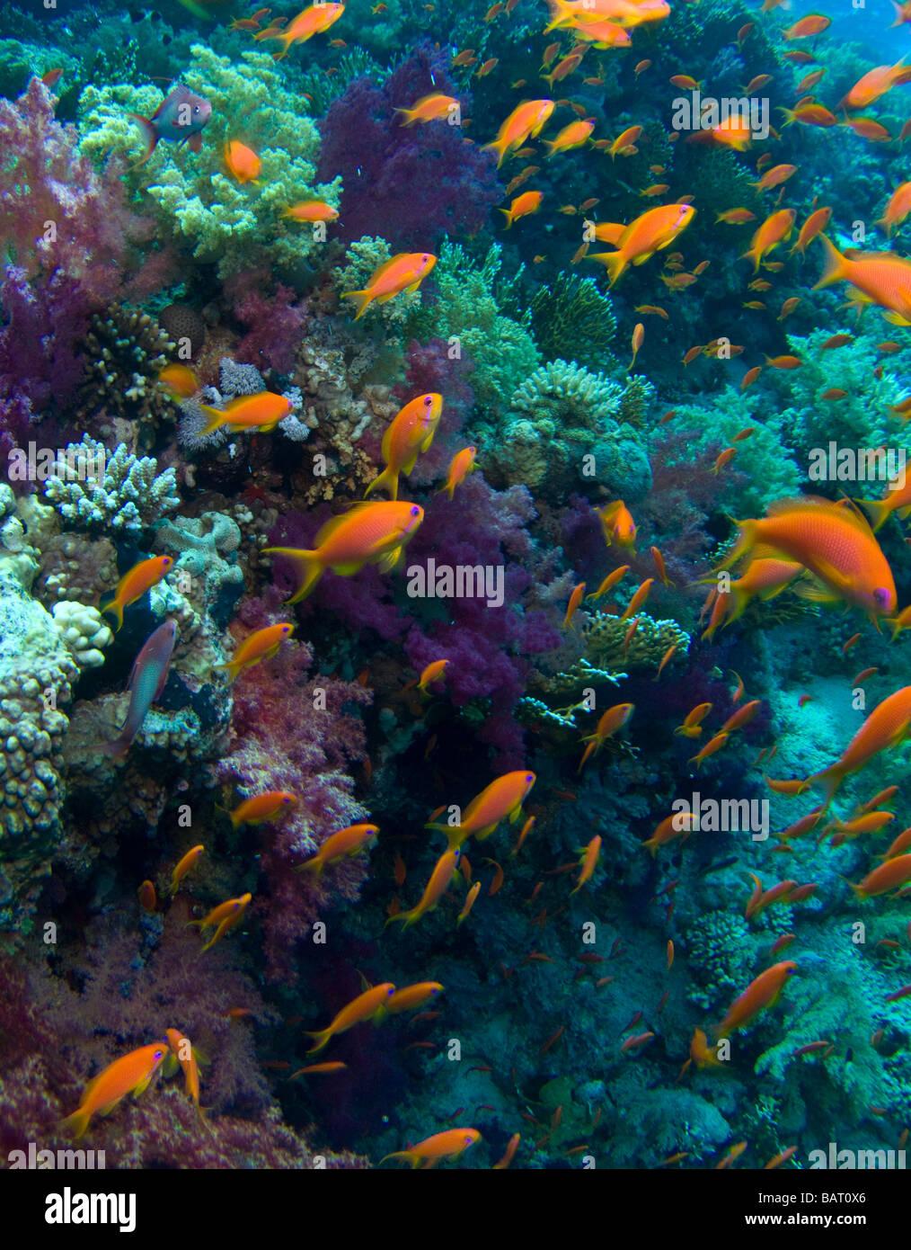 Reef fish - Anthias - Stock Image