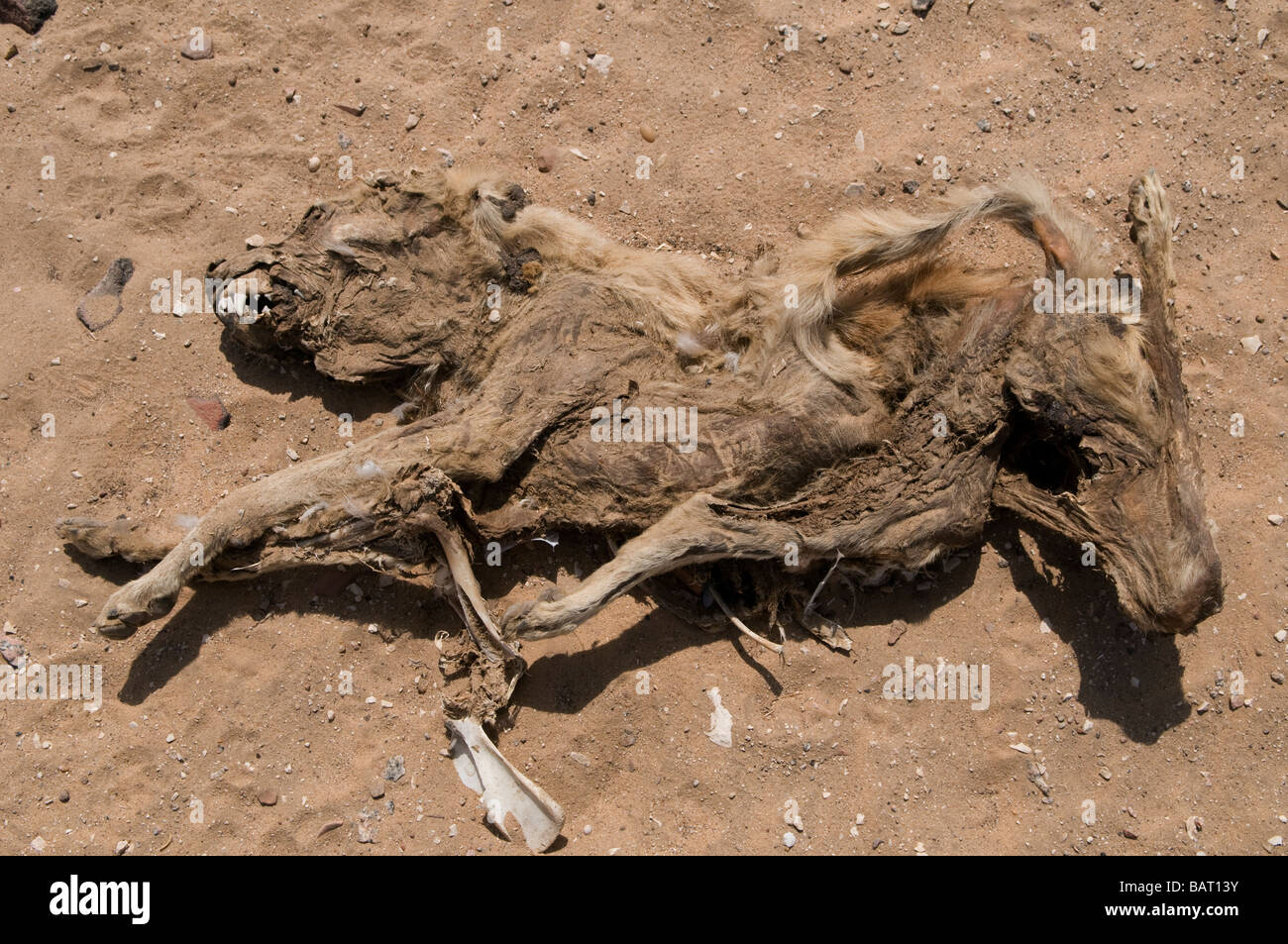 Remains of a dead dog in the desert Egypt - Stock Image