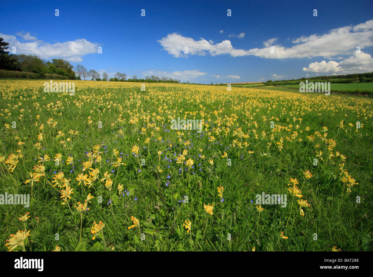 A meadow of cowslips in Norfolk under a pretty blue sky. Stock Photo