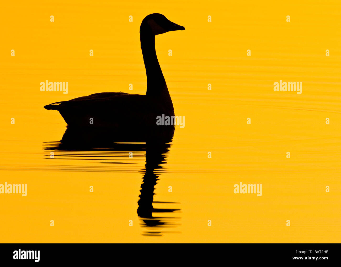 A lone Canada goose swims in early morning golden water. Stock Photo