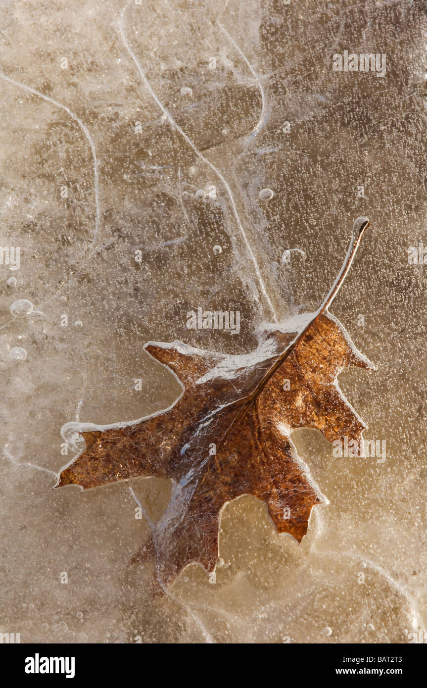 A leaf frozen in pond ice Stock Photo