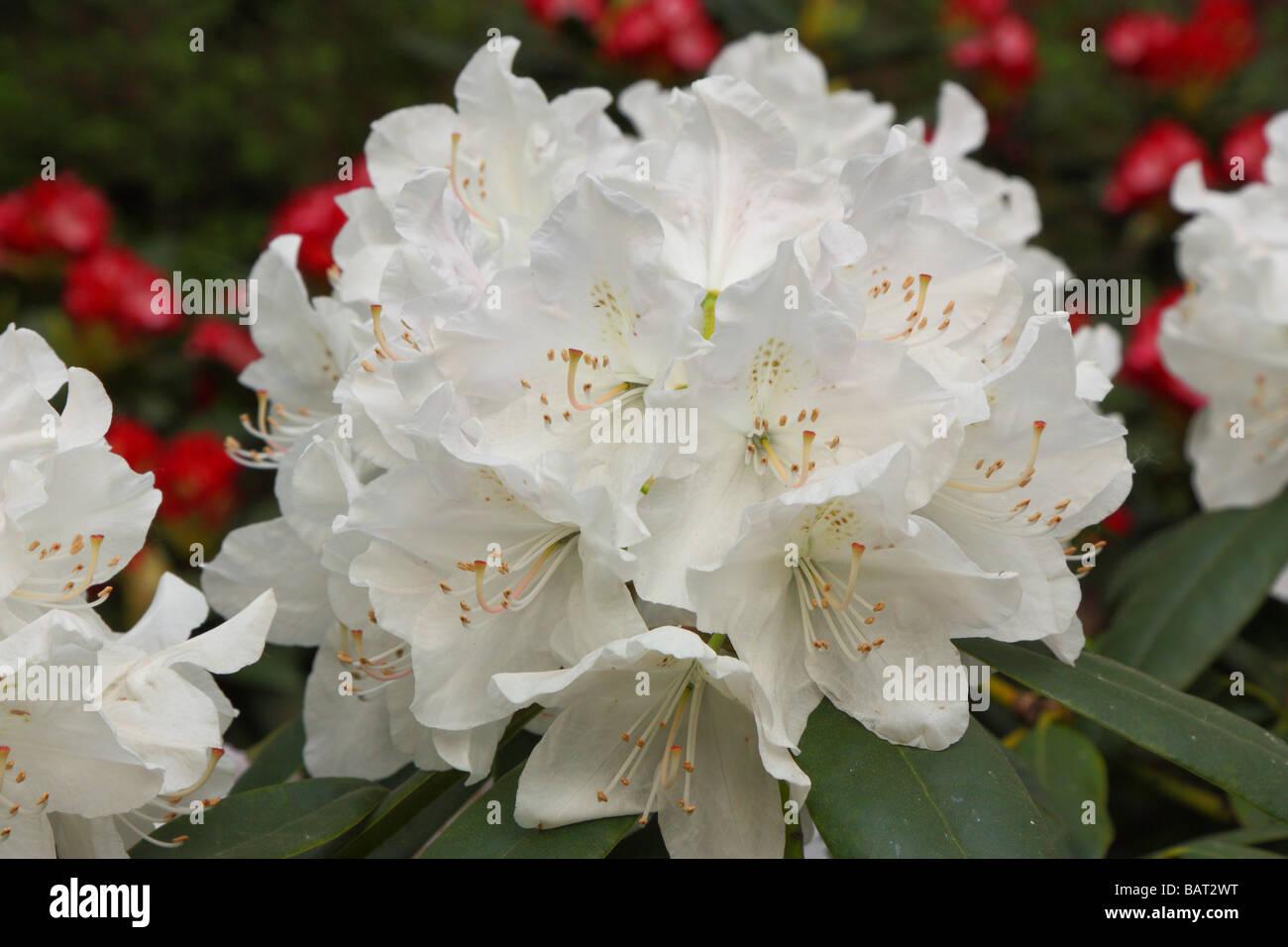 White Rhododendron Flower Stock Photos White Rhododendron Flower
