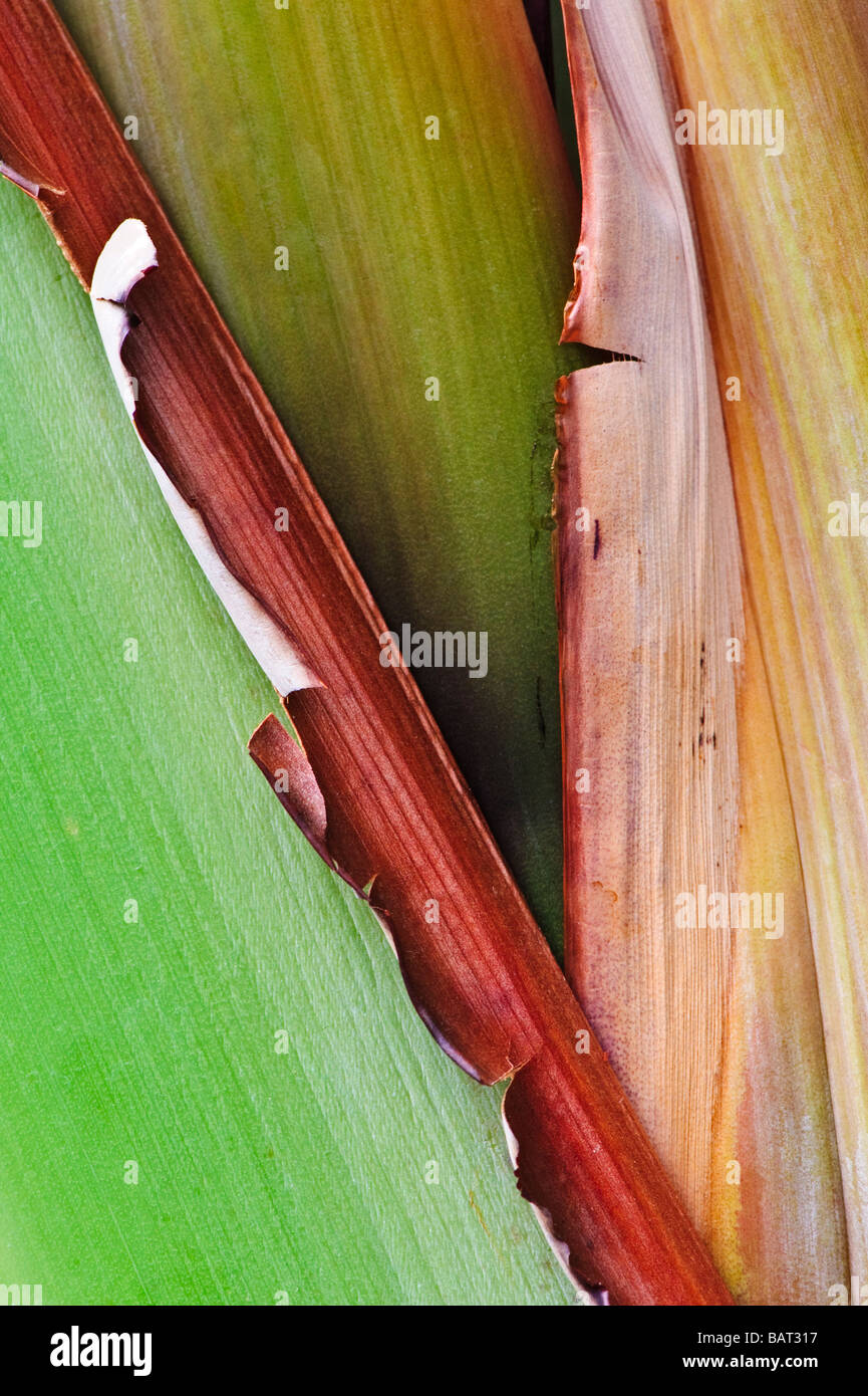 Closeup abstract of a banana plant stalk - Stock Image