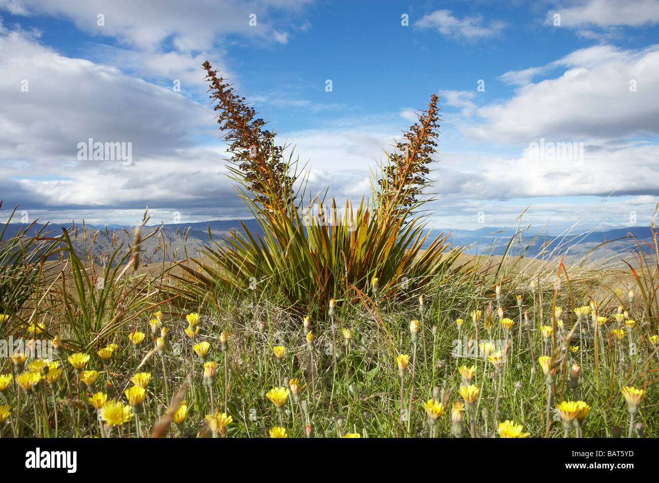 Speargrass or Golden Spaniard Flower Aciphylla aurea Carrick Range Central Otago South Island New Zealand Stock Photo