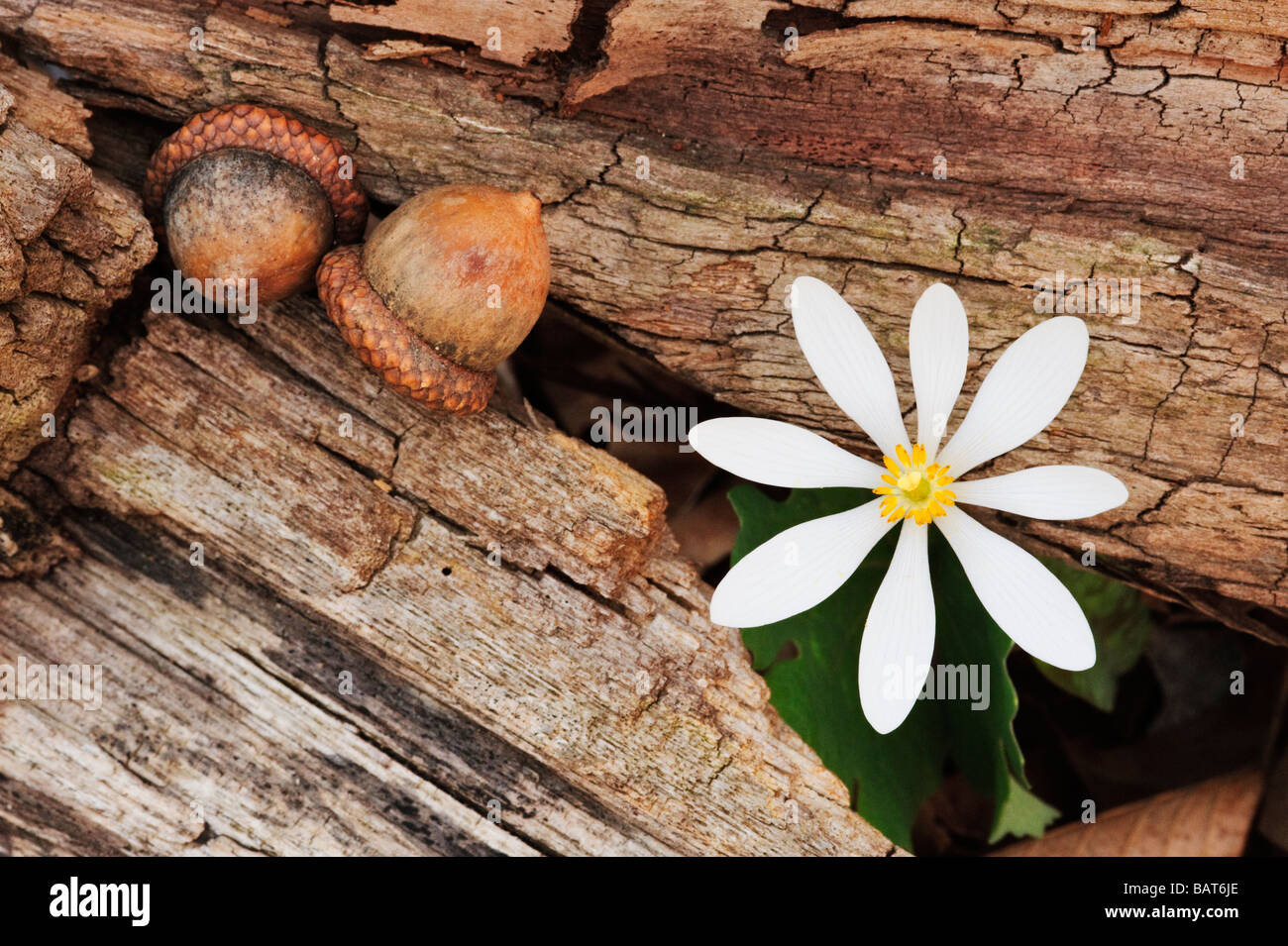 Sanguinaria canadensis, Bloodroot, and acorns form an early spring intimate landscape - Stock Image