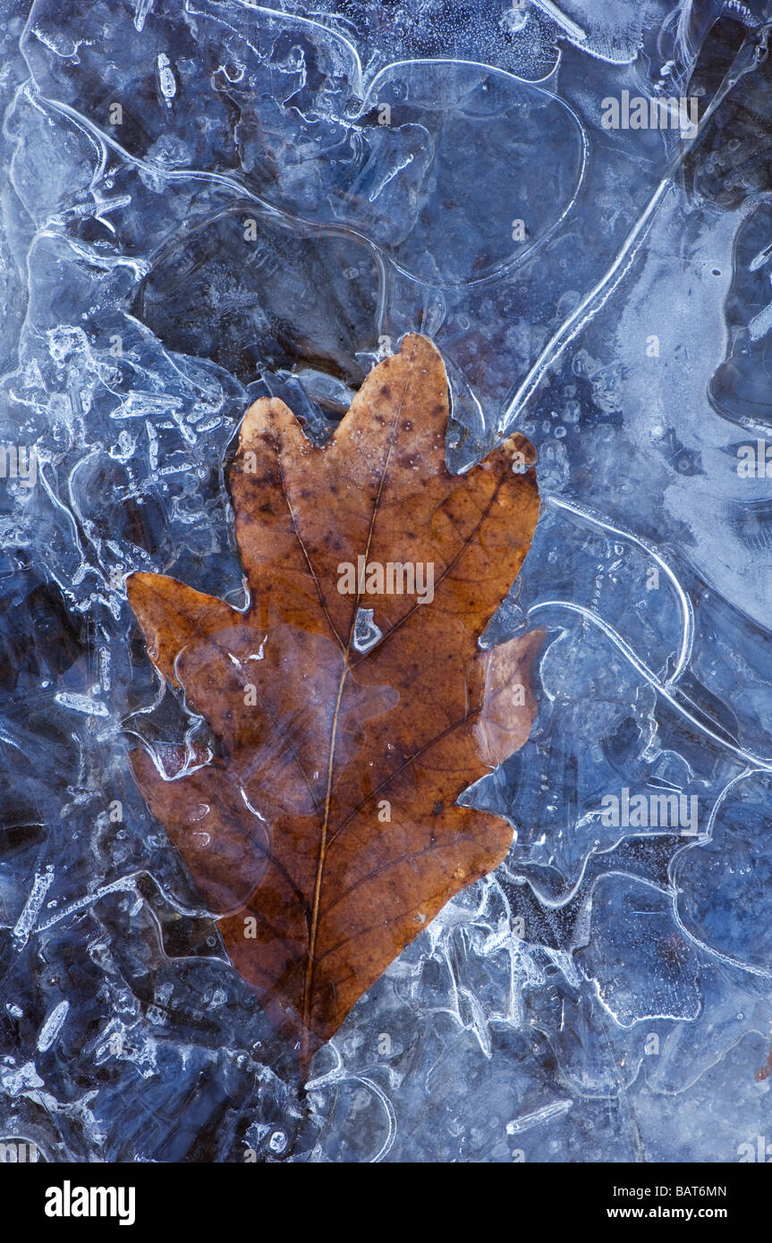 a frozen leaf in ice Stock Photo